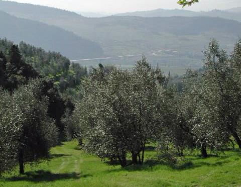 Tuscany Olive Trees